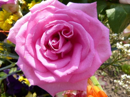 Pink Rose Bloom - romantic, rose, blossomed, close, beautiful, spring, fragrance, plants, flowers, nature, pink