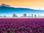 Amazing purple tulip field