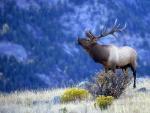 Elk Bulging for a Mate