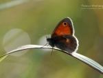 Butterfly VIII.