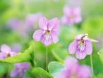 Pink violets