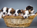 Five Puppies on the Basket