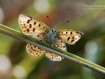 Butterfly IX.