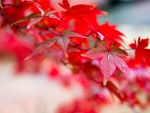 Beautiful red leaves