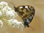 Butterfly X.
