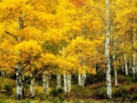 birch forest in yellow hdr