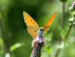 Butterfly XI.