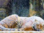 Tiger Covered with Snow ~ Painting