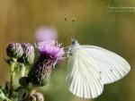 Butterfly XIII.