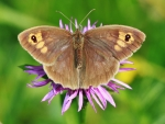 Brown Butterfly on the Flowers