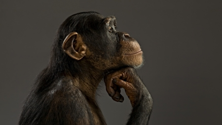 Thinking monkey - primate, cute, monkey, animal