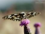 Butterfly XIV.