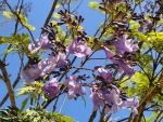 Blossom of the Jacaranda