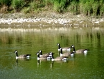 Canada Geese--Brampton Ontario Canada summer 2013