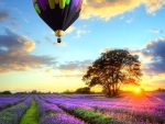 hot air balloon over lavender field at sunset