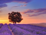 sunset over gorgeous lavender field