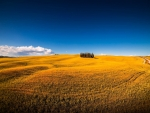 golden fields outside motalcino in tuscany