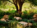 Lion naps