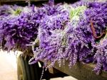 Load of lavenders
