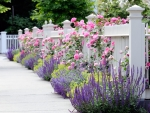 White fence with lavenders and pink roses