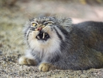 Angry little creature