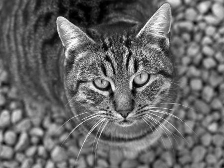 Cat - view from the top, bw, grey, black, pisici, white, cat, animal