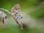 Butterfly XV.