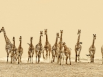 Herd of Giraffes, Africa