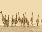 Herd of Giraffes, Africa