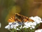 Butterfly XVI.
