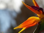 Paradiseflower