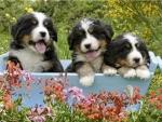Dog Pups