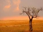 lone tree by a wheat field