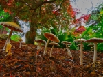 wild mushrooms among forest leaves hdr