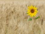 *sunflower*