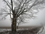 tree in a foggy winter field