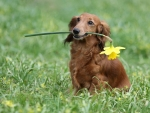 Dachshund with daffodil