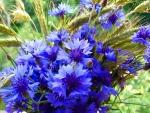 Lovely Cornflowers