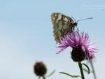 Butterfly XVII.