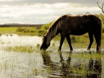 horse grazing grass in a marsh