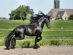 Black Friesian