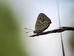 Butterfly XVIII.