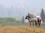 White Horses in a Field