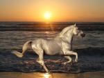 White Horse Rides on the Beach