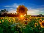 Sunflowers field at sunrise