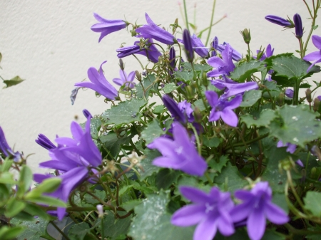Blue Star of Bethlehem (campanula) - flowers, nature, purple, plants