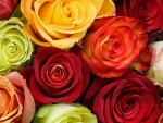 Mix colours of roses
