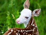 White Faced Fawn f