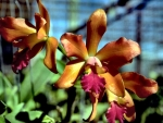 Gold and Purple Orchids f