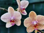 Three Orchids